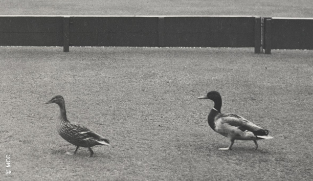 Trueman, Boycott and the Frozen Ducks